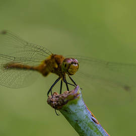 Linda  Howes - Happy Dragonfly
