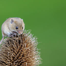 Chris Smith - Harvest mouse