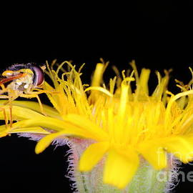 Gregory DUBUS - Hoverfly on yellow dandelion