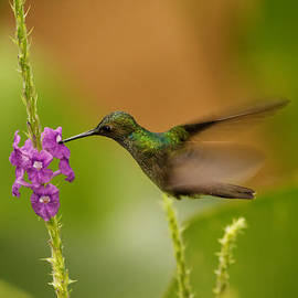 Natural Focal Point Photography - Hummingbird in Costa Rica