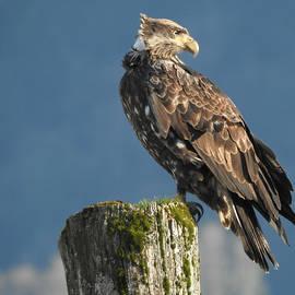 Brian Chase - Immature Bald Eagle