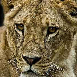 Charuhas Images - Lioness