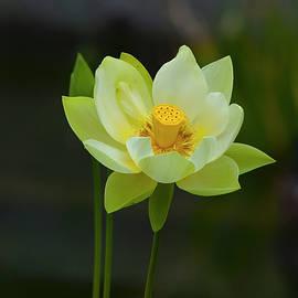 Dennis Reagan - Lotus Flower