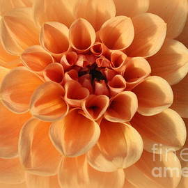 Photographic Art and Design by Dora Sofia Caputo - Lovely in Peaches and Cream - Dahlia
