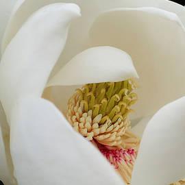 Farol Tomson - Magnolia Blossom