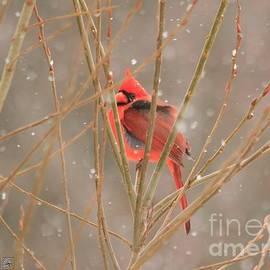 J McCombie - Male Northern Cardinal in Winter