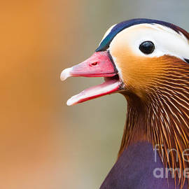 Abeselom Zerit - Mandarin Duck