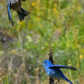 Mountain Bluebird Pair - Mike Dawson