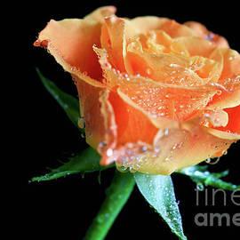 Tracy Hall - Orange Peach Rose