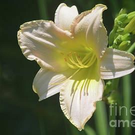 Ruth Housley - Pale Yellow Daylily