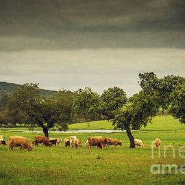 Carlos Caetano - Pasturing Cows