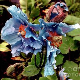 Dominique Fortier - Pavot bleu // Meconopsis betonicifolia // Blue Poppy