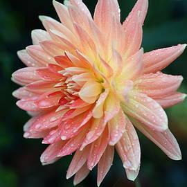 Carrie Goeringer - Pink Dahlia