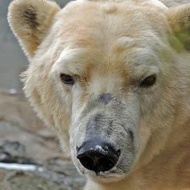 Sharon Hann - Polar Bear