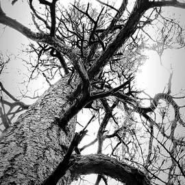 Ed  Cheremet - Ponderosa Pines inHigh Key Black and White