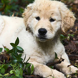 Sally Weigand - Puppy Resting