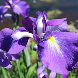 Michele Caporaso - Purple Iris