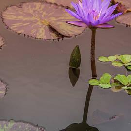 Pamela Williams - Purple Water Lily 2