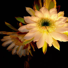Susan Duda -  Night Blooming Cactus