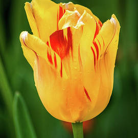 Don Johnson - Red and Yellow Tulip