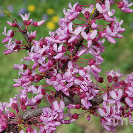 First Star Art  - Red Bud Spring by jrr