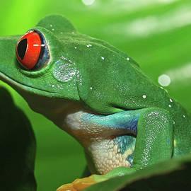 David Freuthal - Red Eyed Tree Frog
