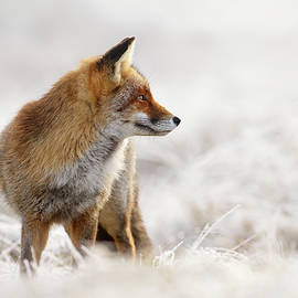 Roeselien Raimond - Red Fox, White World