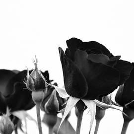 Damijana Cermelj - Roses