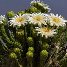 Saija  Lehtonen - Saguaro Blossoms