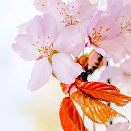 Alexander Senin - Sakura - Japanese cherry blossom