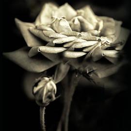 Jessica Jenney - Sepia Rose