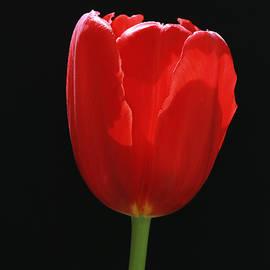 Allen Beatty - Single Red Tulip on Black