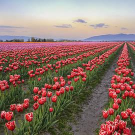 T Q - Skagit tulips field