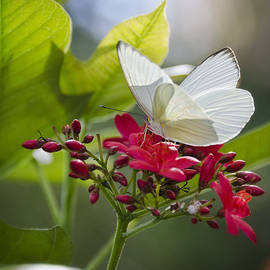 Saija  Lehtonen - Southern White Butterfly