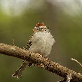 Bob Marquis - Sparrow