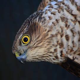 Gavin MacRae - Sparrowhawk