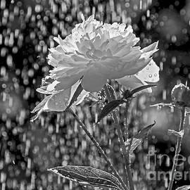 Inge Riis McDonald - Spring Rain - 365-13