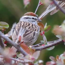MTBobbins Photography - Spring Sparrow