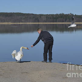 Esko Lindell - Swan eating from hand