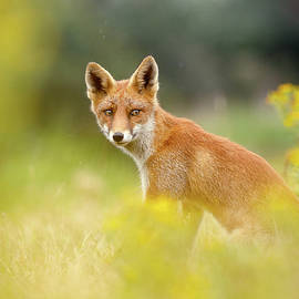 The Fox and the Flowers - Roeselien Raimond