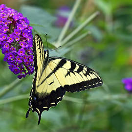 Mother Nature - Tiger Swallowtail Butterfly - Papilio glaucus