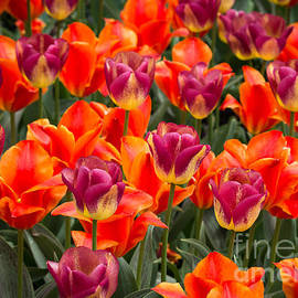 Fiona Craig - Tulip Garden 1