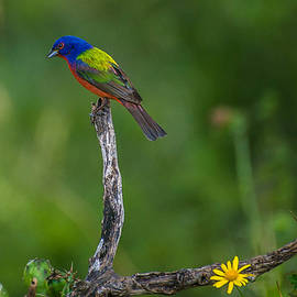 Peggy Blackwell - Painted Bunting