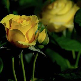 Glenn Thomas Franco Simmons - Walking On Sunshine Roses