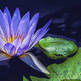 Julie Palencia - Water Lily in Lavender