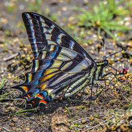 Mitch Shindelbower - Western Tiger Swallowtail
