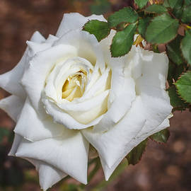 Jane Luxton - White rose