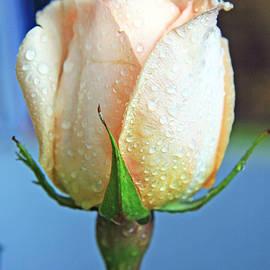 Lali Kacharava - White rose