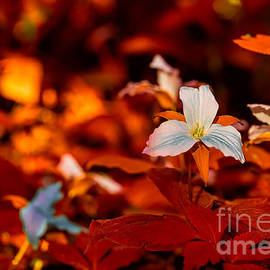 Les Palenik - White trillium with red leaves