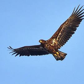 Jouko Lehto - Whitetailed eagle